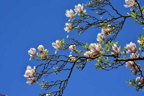 magnolia-3332600_960_720